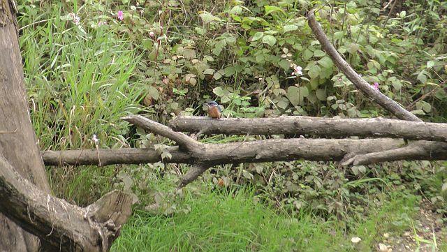 Donau Kanu Eisvogel auf vom Biber angenagten Baum